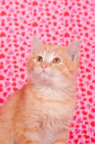 Yellow kitten on valentines background Royalty Free Stock Photo