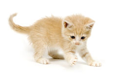 Yellow kitting playing and pawing. Yellow kitten pawing at a toy on a white background stock photo