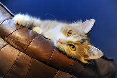 Yellow kitty. Laying on the cushion Stock Photos