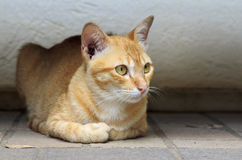 Yellow kitty cat Royalty Free Stock Photos