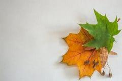 Yellow klenovj autumn leaf on white background stock images