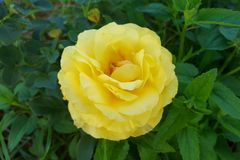Yellow knockout rose Stock Photos