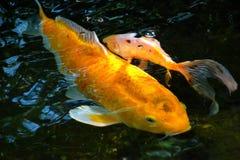 Yellow koi carp stock photo