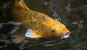 Yellow koi fish in aquarium looking for food, fish in japan. Japanese lucky fish royalty free stock photos