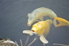 Yellow koi fishes Stock Photo