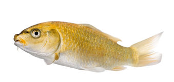 Yellow Koi ogon- Cyprinus carpio Royalty Free Stock Photography