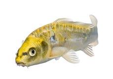 Yellow Koi ogon- Cyprinus carpio. Yellow Koi ogon - Cyprinus carpio in front of a white background stock photo