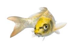 Yellow Koi ogon- Cyprinus carpio. Yellow Koi ogon - Cyprinus carpio in front of a white background stock image