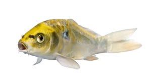 Yellow Koi ogon- Cyprinus carpio. Yellow Koi ogon - Cyprinus carpio in front of a white background royalty free stock photo