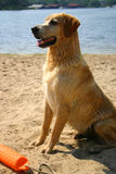 Yellow lab 1 Stock Photography