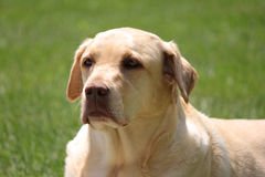 Yellow Lab Stock Image