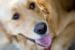 Yellow lab. Close up of yellow lab tilting head inquisitively using soft focus Royalty Free Stock Image