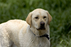 Yellow Lab. Standing still and looking wet stock photos