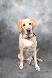 Yellow Lab against a blue-grey background. Studio shot of a yellow labrador retriever against a blue-grey backdrop Royalty Free Stock Photos