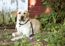 Yellow Lab Stock Images