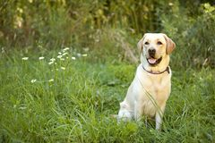 Yellow Lab Stock Photos