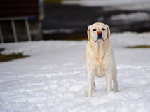 A yellow Lab almost blends into the snow royalty free stock photos