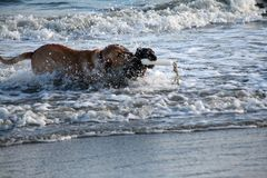 Yellow lab and Boykin spaniel running through the ocean at the beach in Charleston South Carolina. Yellow lab and Boykin spaniel running through the ocean at Stock Photography