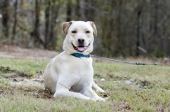 Yellow Lab Chinese Shar Pei mixed breed dog. With blue collar, laying down, on leash. Outdoor animal adoption photography for Walton County Animal Control Royalty Free Stock Images