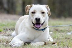 Yellow Lab Chinese Shar Pei mixed breed dog. With blue collar, laying down, on leash. Outdoor animal adoption photography for Walton County Animal Control royalty free stock photos