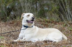 Yellow Lab Chinese Shar Pei mixed breed dog. With blue collar, laying down, on leash. Outdoor animal adoption photography for Walton County Animal Control stock photography