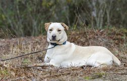 Yellow Lab Chinese Shar Pei mixed breed dog. With blue collar, laying down, on leash. Outdoor animal adoption photography for Walton County Animal Control royalty free stock photography