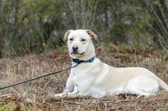 Yellow Lab Chinese Shar Pei mixed breed dog. With blue collar, laying down, on leash. Outdoor animal adoption photography for Walton County Animal Control Stock Photo