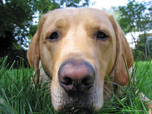 Yellow Lab Close-Up Stock Photo
