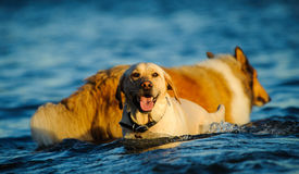 Yellow Lab and Collie in water. Yellow Labrador Retriever dog in blue water and behind him a Collie Stock Photo