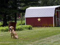Yellow Lab in Country Stock Photography
