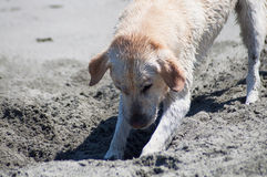 Yellow Lab Digging in Sand. Yellow Labrador Retriever digging in the sand at a beach on a sunny day Stock Photography