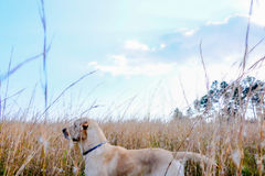 Yellow lab. Dog in field gazing upon the open sky Stock Image