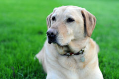 Yellow Lab Dog On Grass. Golden yellow lab laying on green vibrant grass. What a cute doggy stock image
