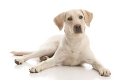 Yellow Lab Royalty Free Stock Photos