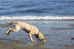 A yellow lab getting a tennis ball Royalty Free Stock Photo