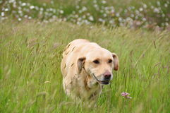 Yellow Lab in the Grass Royalty Free Stock Images