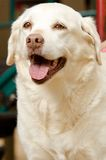 Yellow Lab. A happy looking yellow lab Royalty Free Stock Photos