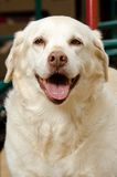 Yellow Lab Stock Photo