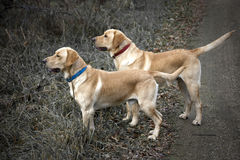 Yellow Lab Hunting Royalty Free Stock Image