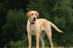 Yellow Lab Hunting Stock Photos