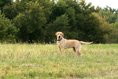 Yellow Lab Hunting Stock Images