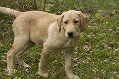 Yellow Lab Hunting Stock Photography