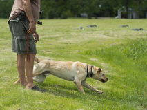 A Yellow Lab Hunting Dog Royalty Free Stock Photography