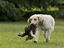 A Yellow Lab Hunting Dog Royalty Free Stock Photos