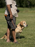 A Yellow Lab Hunting Dog Stock Image