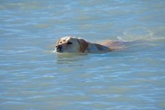 Free Yellow Lab In The Water Royalty Free Stock Photography - 94933517