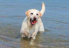 Yellow Lab in the Lake Royalty Free Stock Photo