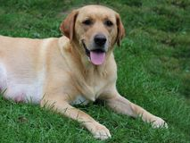 Yellow lab on the lawn. The friendly face of a yellow lab on the grass stock photography