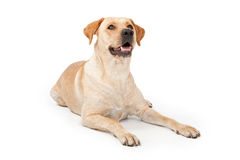 Yellow Lab Laying Down Stock Photo