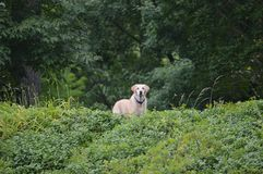 Dog peers over the edge of an overgrown hill. A yellow lab looks over the edge of an overgrown hill Royalty Free Stock Image